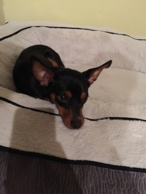 Safe Miniature Pinscher in Lutz, FL US