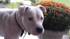 Safe American Bulldog in Cincinnati, OH US
