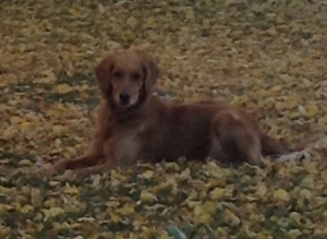 Safe Golden Retriever in Cheyenne, WY US