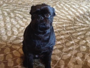 Lost Brussels Griffon in San Antonio, TX US