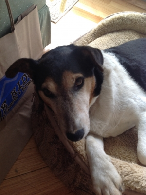 Safe Jack Russell Terrier in Chesterfield, VA US