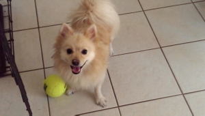 Safe Pomeranian in Navarre, FL US