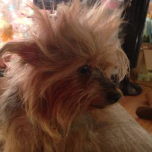 Stolen Yorkshire Terrier in New Port Richey, FL US