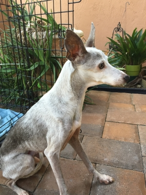 Safe Italian Greyhound in Fort Lauderdale, FL US
