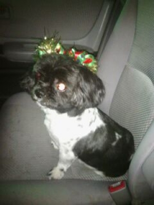 Safe Shih Tzu in Manteca, CA US