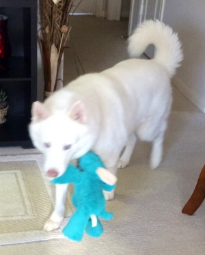 Safe Siberian Husky in Cypress, TX US