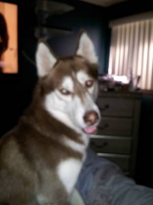 Lost Siberian Husky in Fort Washington, MD US