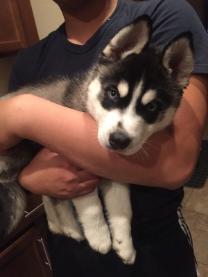 Safe Siberian Husky in Orange Park, FL US