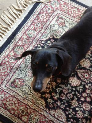 Safe Dachshund in Bedford, TX US