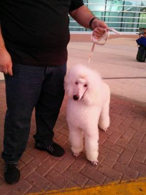 Safe Poodle in Ocala, FL US
