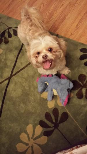Safe Shih Tzu in Fort Worth, TX US