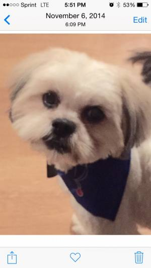 Safe Shih Tzu in Arlington, TX US