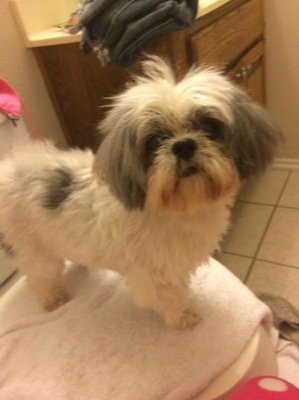 Safe Shih Tzu in Plano, TX US