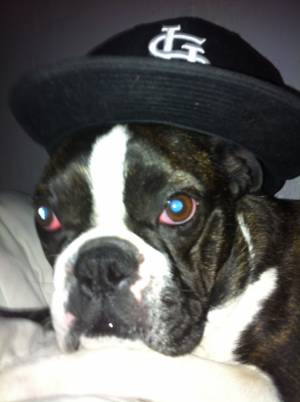 Safe Boston Terrier in Maryland Heights, MO US