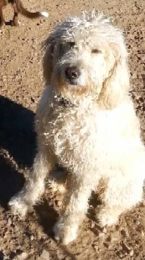 Safe Poodle in Tuba City, AZ US