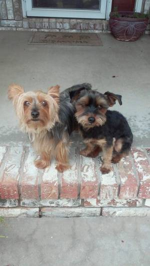 Safe Yorkshire Terrier in Wichita, KS US