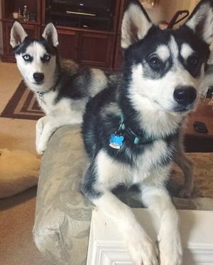 Safe Siberian Husky in Woodstock, GA US