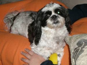 Safe Havanese in Gresham, OR US