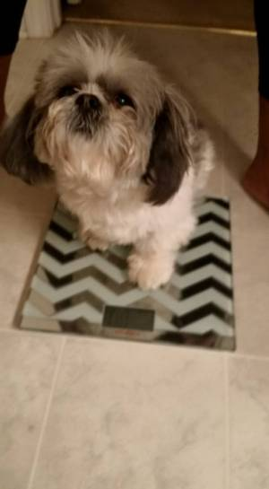 Safe Shih Tzu in Stockbridge, GA US