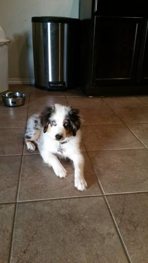 Safe Australian Shepherd in Waco, TX US