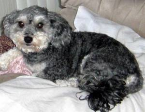 Safe Poodle in Kyle, TX US