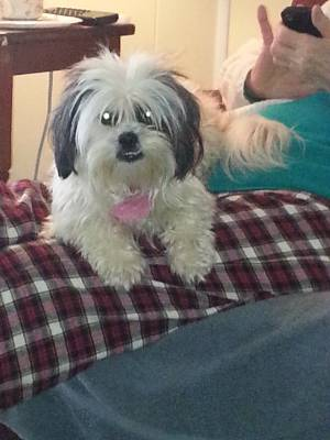 Safe Shih Tzu in Johnston, RI US