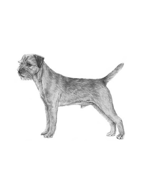 Safe Border Terrier in Tacoma, WA US