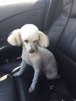 Safe Poodle in Newark, CA US