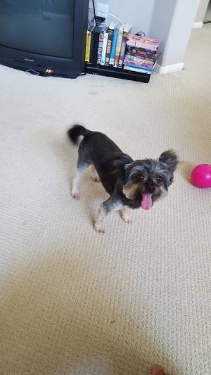Safe Yorkshire Terrier in Montebello, CA US