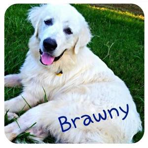 Safe Great Pyrenees in Sugar Land, TX US