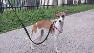Safe Italian Greyhound in New York, NY US