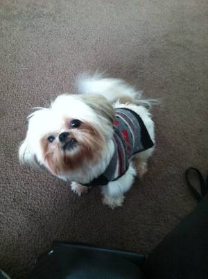 Safe Shih Tzu in Sugar Land, TX US
