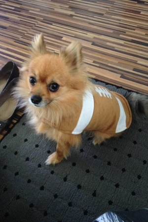 Lost Pomeranian in Arlington, WA US