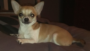 Lost Chihuahua in Centreville, VA US