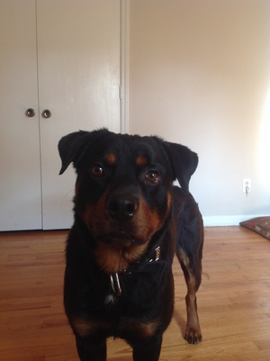 Safe Rottweiler in Charlotte, NC US