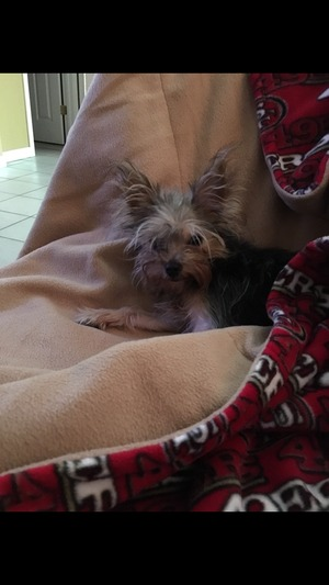 Safe Yorkshire Terrier in Brentwood, CA US