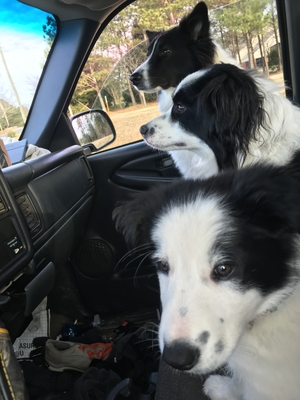 Safe Border Collie in Wake Forest, NC US