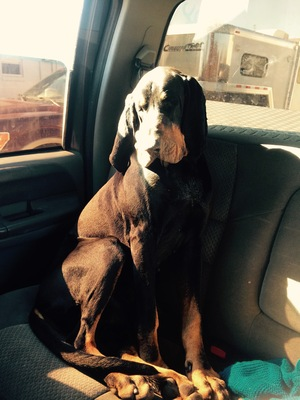 Safe Black and Tan Coonhound in Kansas City, MO US