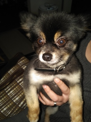 Safe Pomeranian in Columbus, OH US