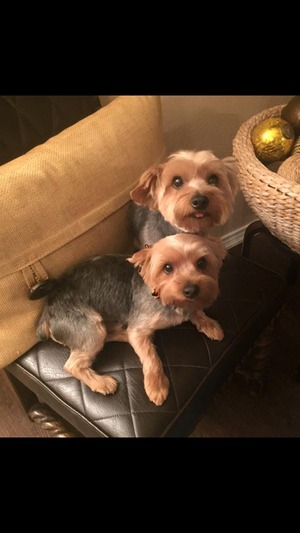 Safe Yorkshire Terrier in Rockwall, TX US