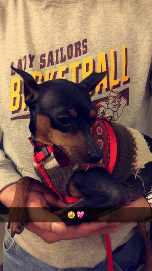 Safe Miniature Pinscher in Summit Argo, IL US