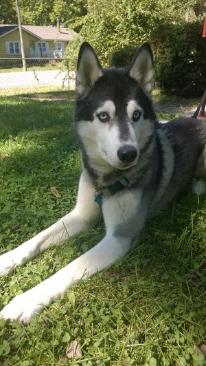 Safe Siberian Husky in Independence, MO US