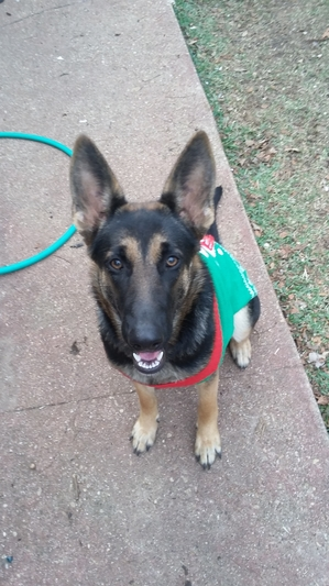 Safe German Shepherd Dog in Fort Worth, TX US