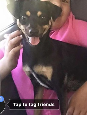 Safe Miniature Pinscher in Dade City, FL US