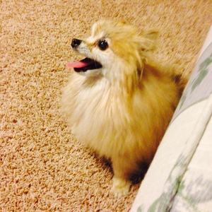Safe Pomeranian in North Las Vegas, NV US