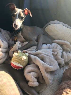 Safe Italian Greyhound in Hyattsville, MD US