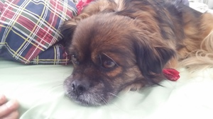 Safe Pekingese in Marlborough, CT US