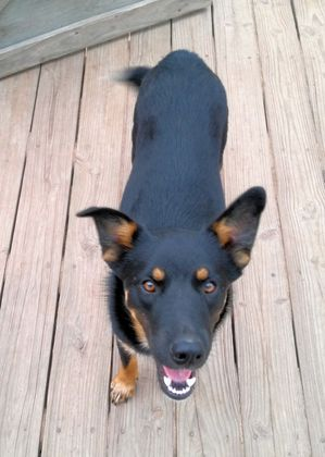 Safe German Shepherd Dog in Houston, TX US