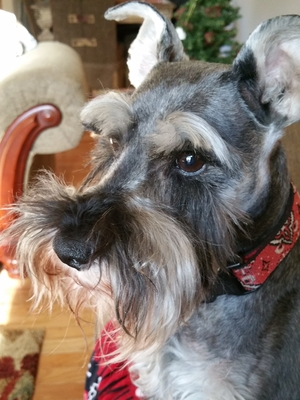 Safe Miniature Schnauzer in Townsend, TN US