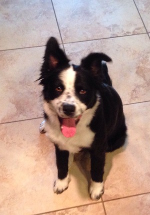 Safe Border Collie in Buckeye, AZ US